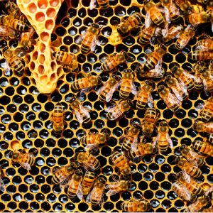 abejas melíferas produciendo miel